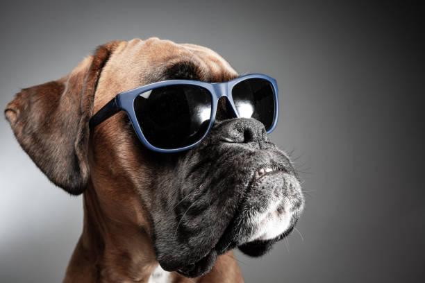 Ceratoconjuntivite Canina