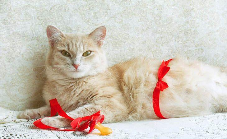 como saber se uma gata está grávida