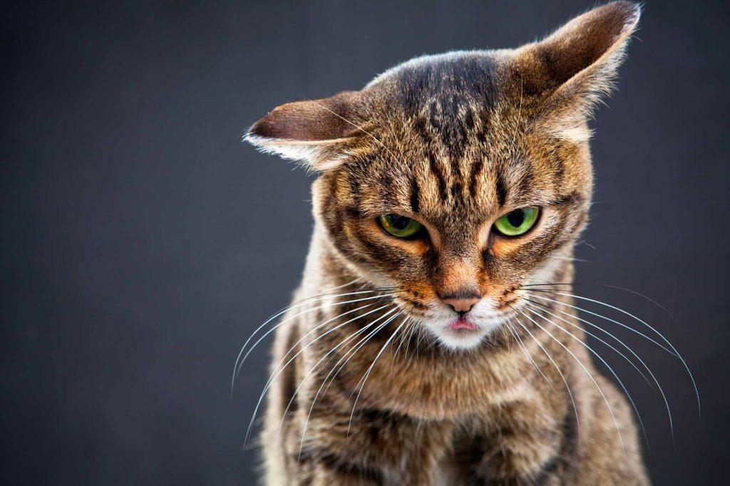 como saber se o gato está sentindo dor