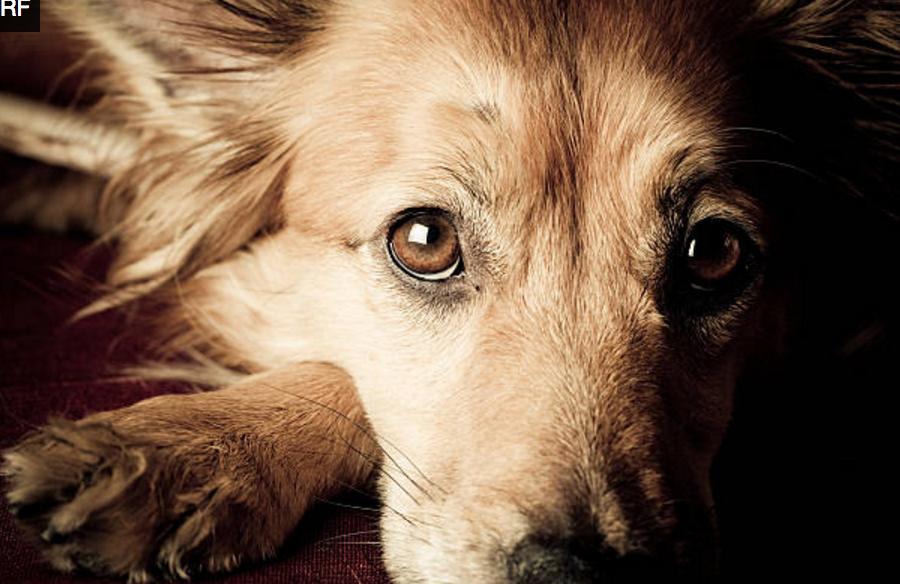 Anemia em Cães