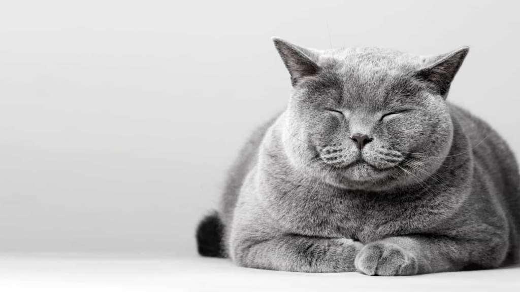gatos tem expressões faciais