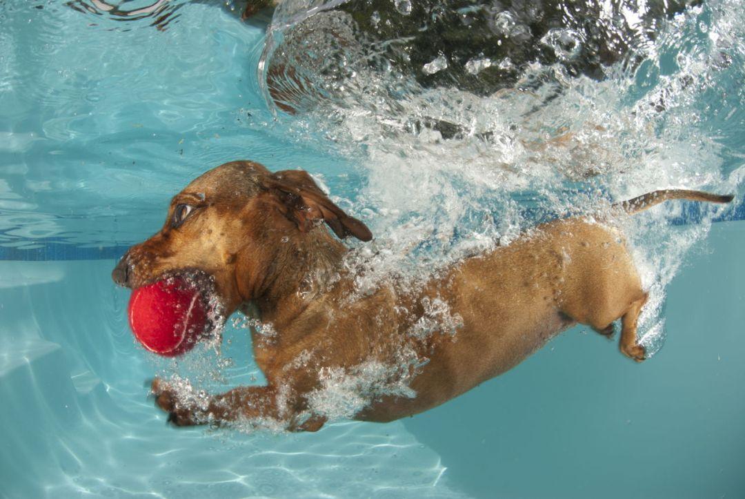 cuidados com o cachorro na piscina