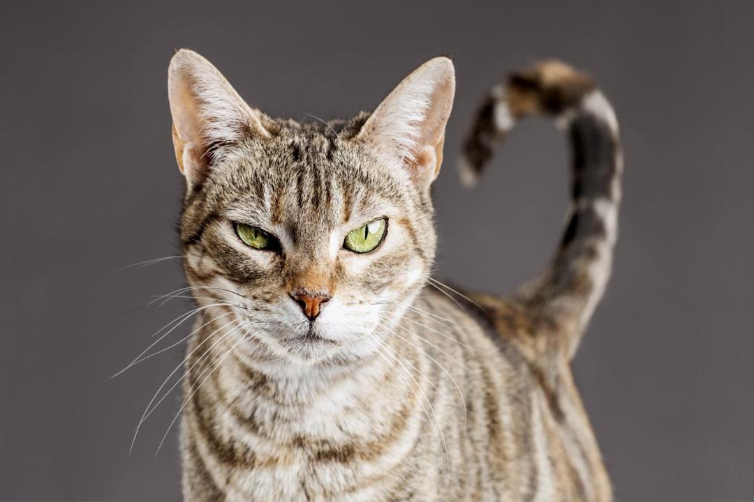quando o gato quer atenção
