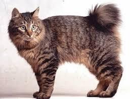 clube-do-gato-Kurilian Bobtail