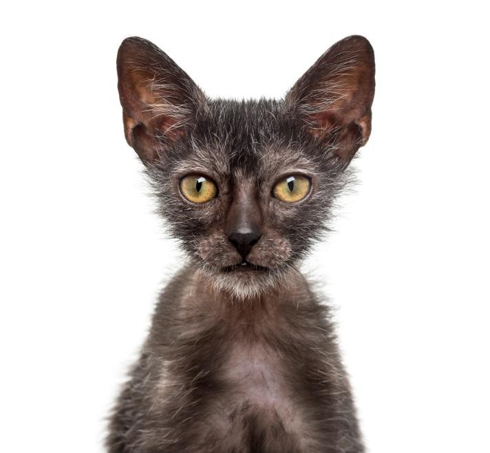 gato-lobisomem-clube-do-gato