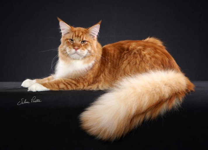 maine-coon-clube-do-gato